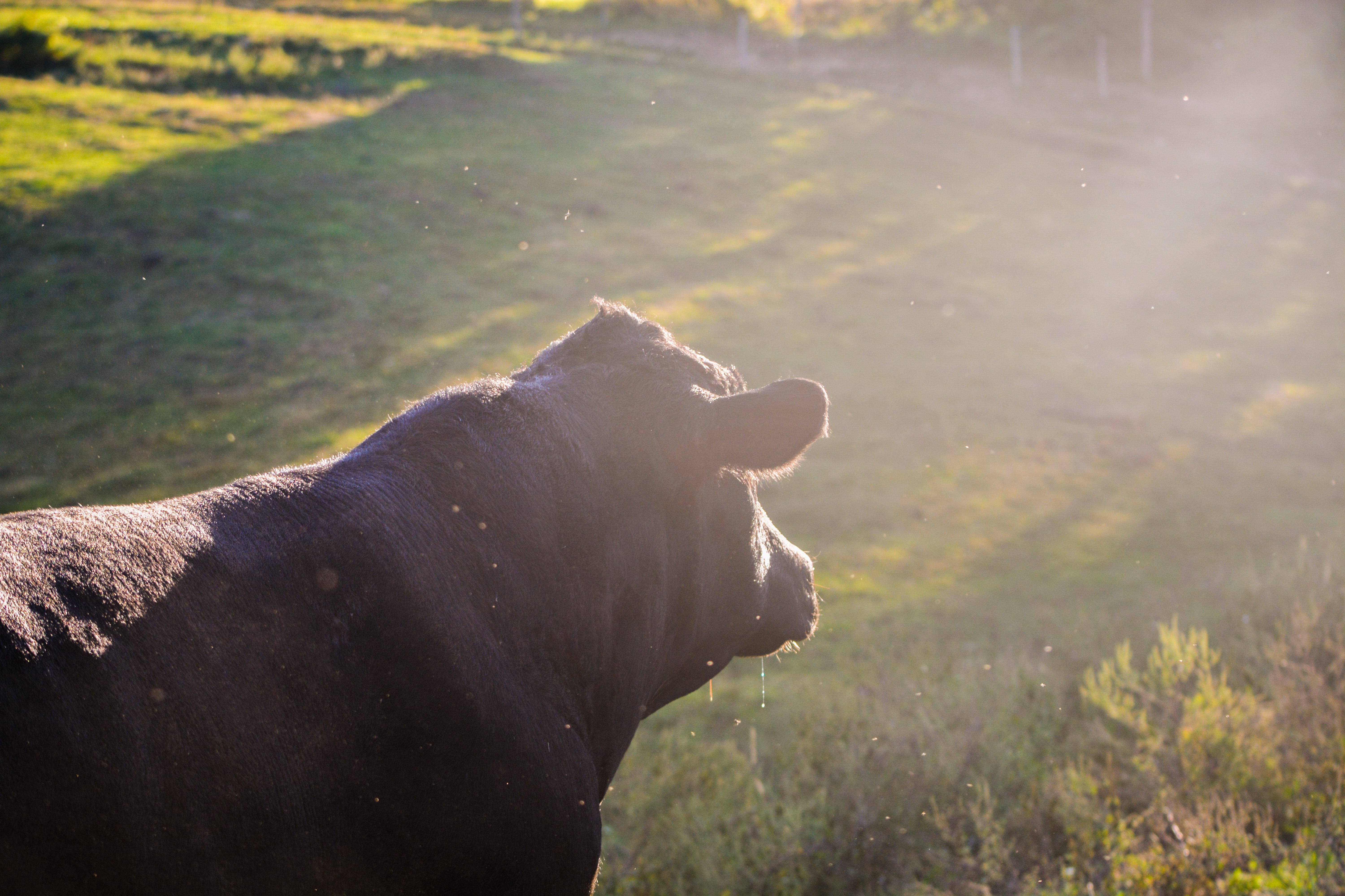 A cow roams in the late afternoon sun. (Nick DeMichele/TBL)