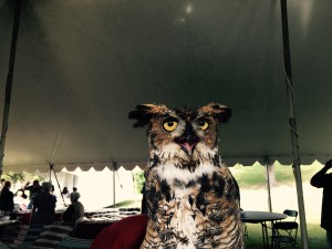 An injured, rehabilitated owl used for educational programs and wildlife awareness.