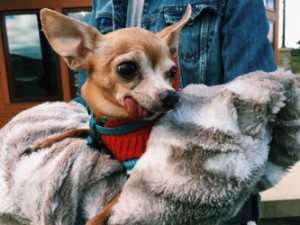 Miguel Alejuandro, an elderly chihuahua stays warm during the 2-mile walk at Rocky Gap State Park.