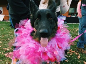 Lilly the German Shepherd making a statement at this year's Bark For Life event in Western Maryland.