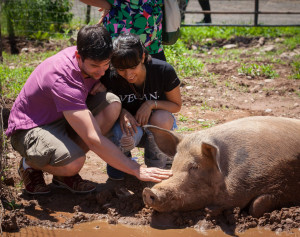 A loving rescue pig shows affection. Photo by George Brooks, photo from: Jenny Brown.