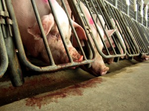 Pigs gnaw at the bars of gestation crates in efforts to escape. Photo from: Jenny Brown.